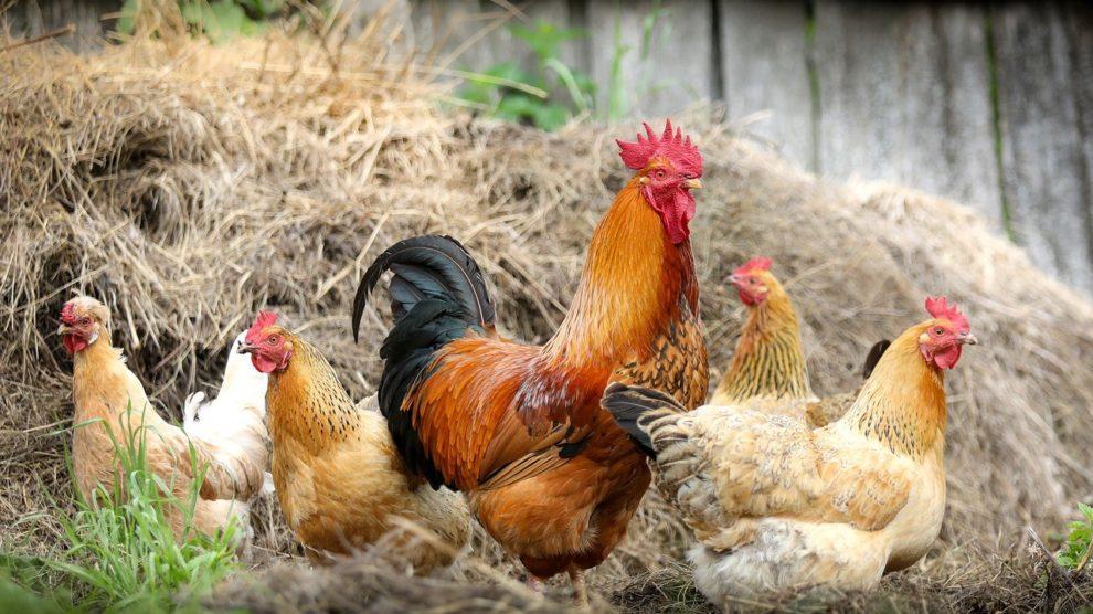 Da gackern ja die Hühner