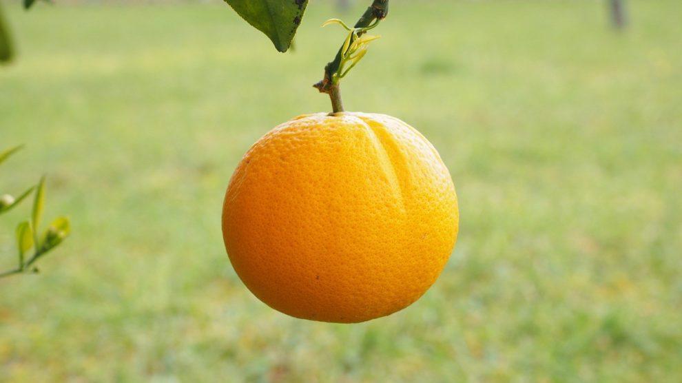 Apfelsinenschwingen