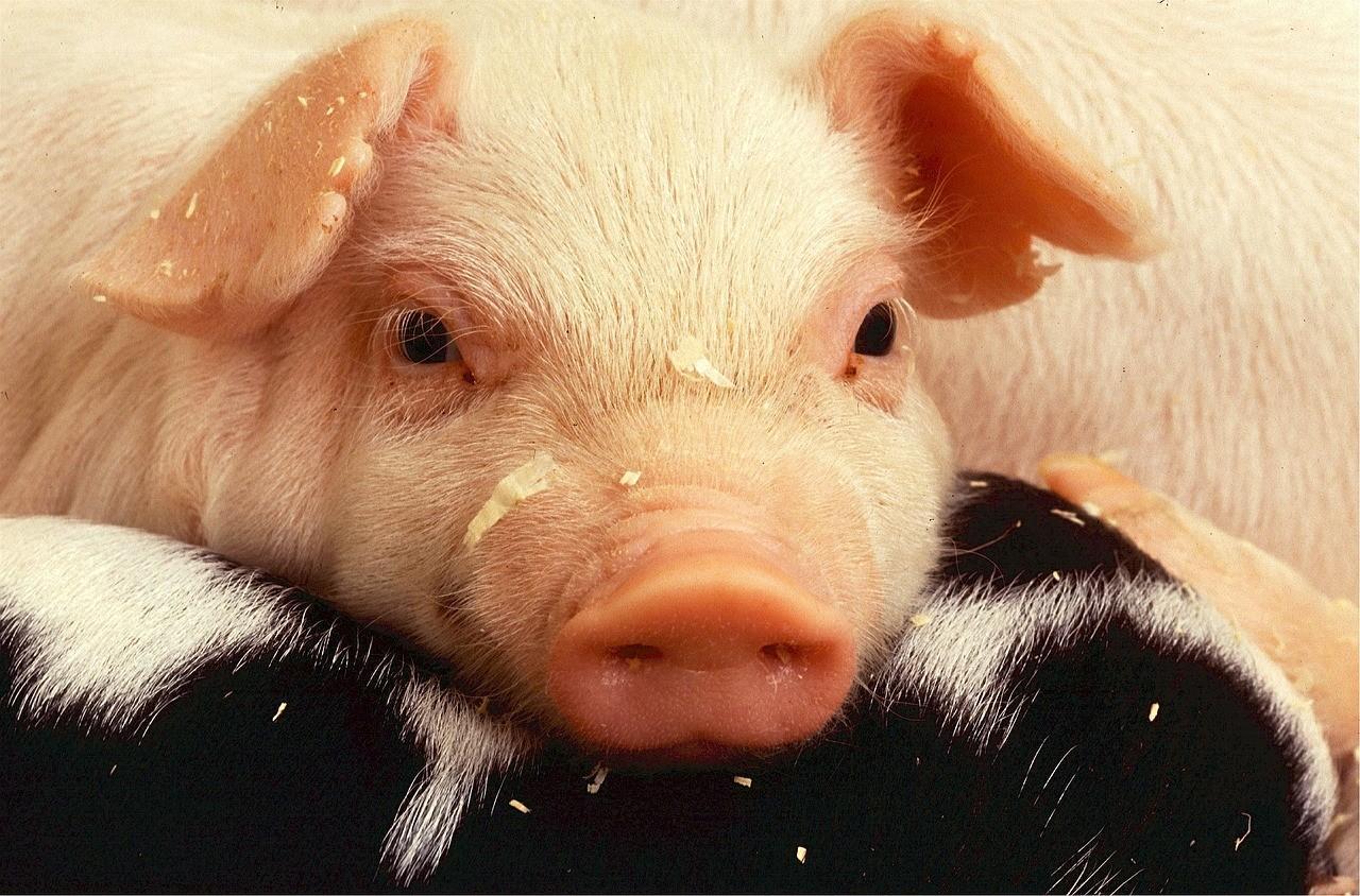 schweine schwarte
